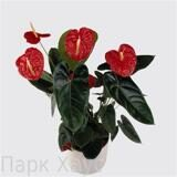 Anthurium An Madural