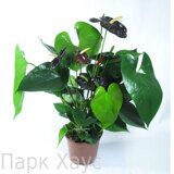Anthurium An Black Queen