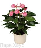Anthurium An Pink Champion