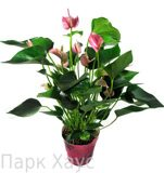 Anthurium An Pink Fever