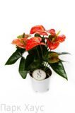 Anthurium An Prince Of Orange
