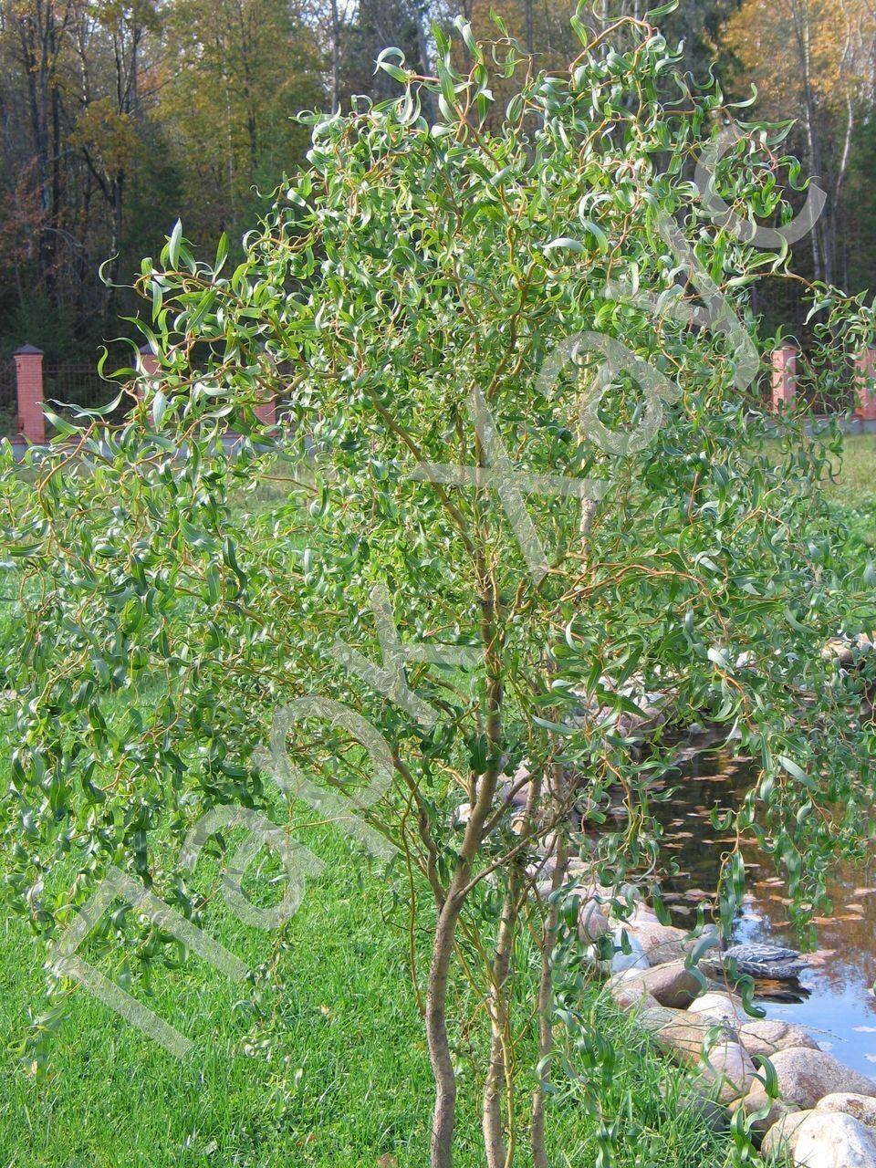 фото ива уральская извилистая