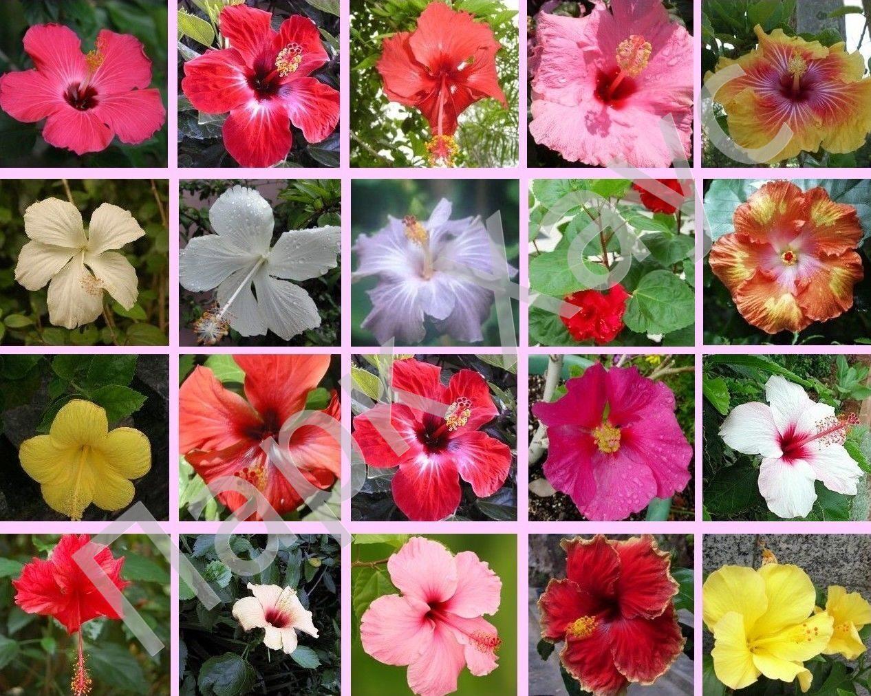 Гибискус китайский (Бунгарайя малазийская, китайский розан) в ассортименте, Hibiscus rosa-chinensis mix ЦВЕТЫ оранжерейные и экз