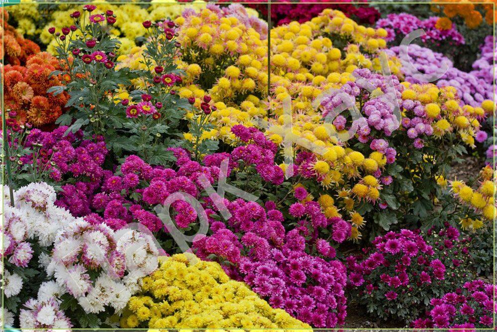 Многолетние цветы  Хризантема мелкоцветковая корейская