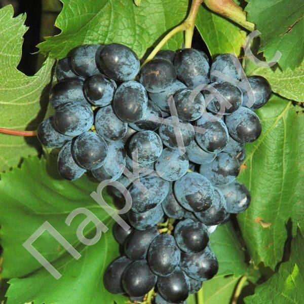 Купить цветы кустарники и виноград заказать доставку цветов