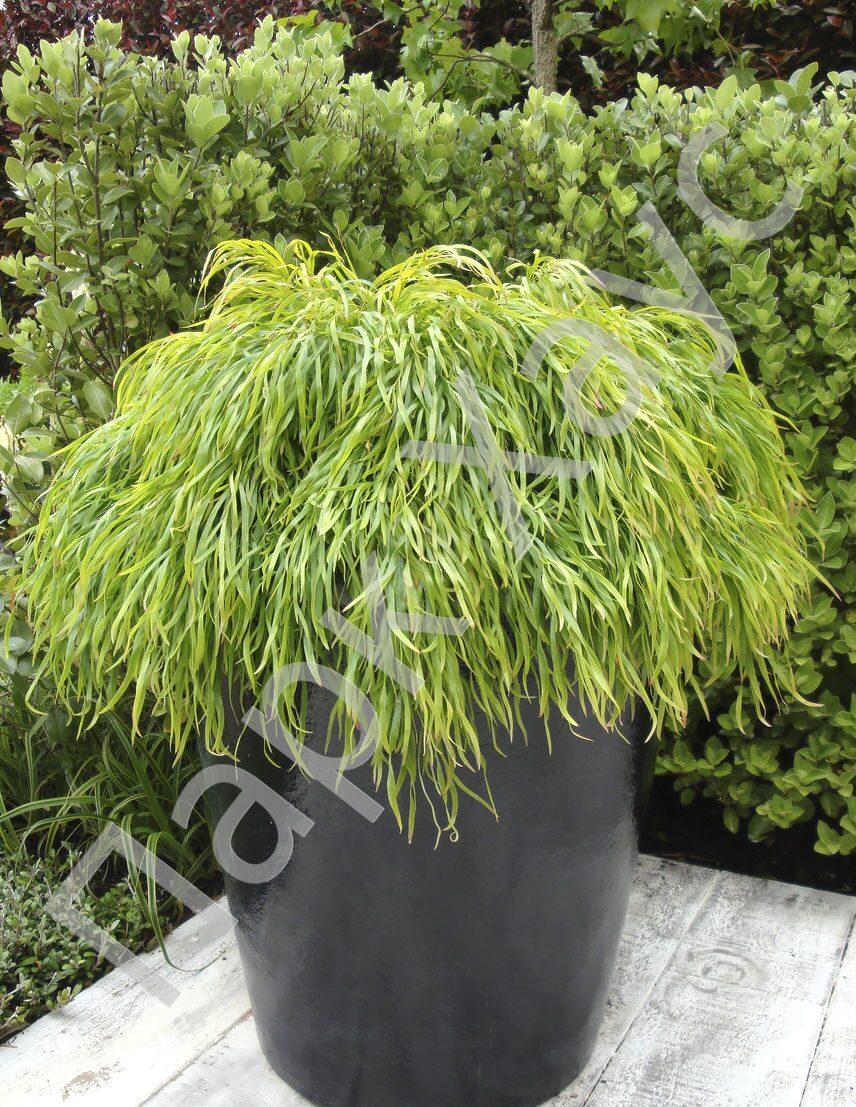 акация Lime Magik купить в ростове акация речная Acacia Cognata