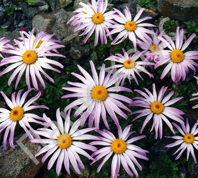 chrysanthemums essays Chrysanthemums essay chrysanthemums and over other 29,000+ free term papers, essays and research papers examples are available on the website.