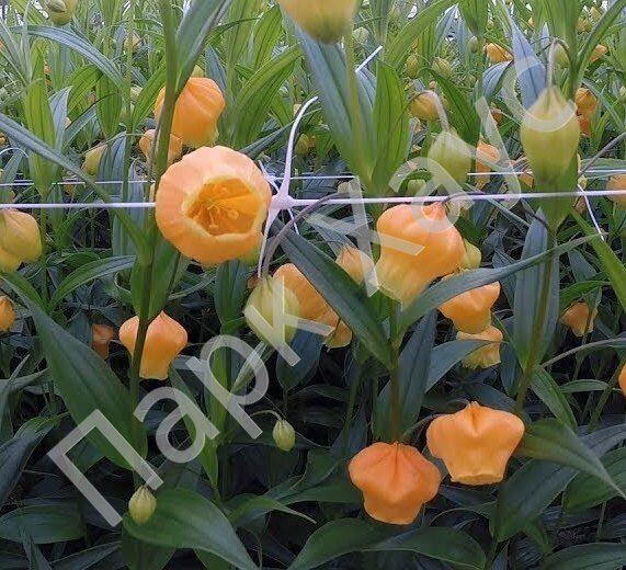Сандерсония sandersonia aurantiaca оранжевый