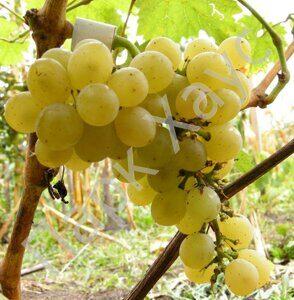 Vitis vinifera 'Gechei zamatosh'