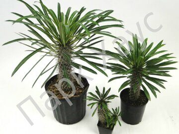 Pachypodium lamerei mix