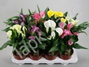 Zantedeschia mix box