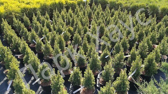 Picea glauca Conica box C2