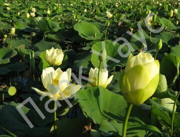 Nelumbo lutea 'Yellow'