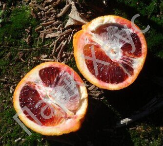 Citrus sinensis 'Smith Red Valencia'