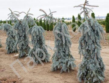 Picea pungens 'The Blues' plant