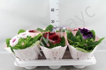 Schlumbergera mix box
